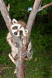 Baby Raccoon Learning to climb. Royalty Free Stock Photos