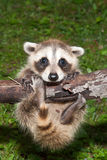 Baby Raccoon Learning to climb. Royalty Free Stock Image