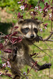 Baby Raccoon Learning to climb. Royalty Free Stock Photos