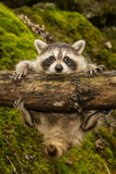 Baby Raccoon. Learning to climb Royalty Free Stock Photography