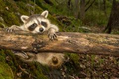 Baby Raccoon Stock Photos