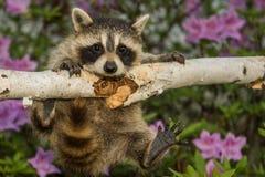Baby Raccoon Stock Photo