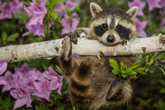 Baby Raccoon. Learning to climb royalty free stock image