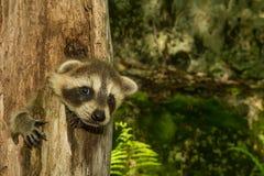 Baby Raccoon Learning to climb. Royalty Free Stock Photography