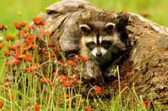 Baby Raccoon nesting in a log in a field of wildflowers. Royalty Free Stock Images