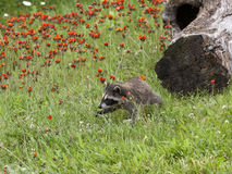 Baby Raccoon in Orange Wildflowers Royalty Free Stock Photos