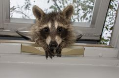 A curious baby raccoon peeking in a skylight window. A baby raccoon peeking in a gold and white skylight Sky and green trees can be seen in the background royalty free stock images