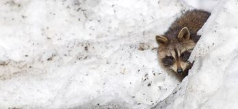 Baby raccoon peeking out  behind snow bank. Royalty Free Stock Images