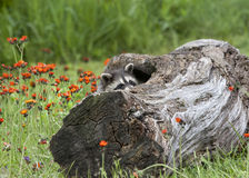 Baby Raccoon Peeking Out of Log Royalty Free Stock Image