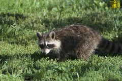 This is a baby raccoon. This is a picture of a baby raccoon hunting for food Stock Photography