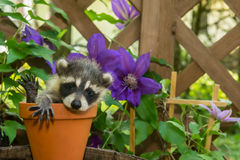 Baby Raccoon Stock Photo