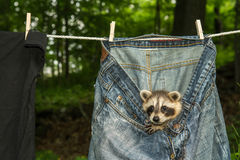 Baby Raccoon. A baby raccoon playing in the laundry on the clothes line royalty free stock photo
