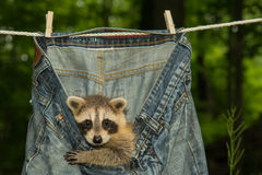 Baby Raccoon. A baby raccoon playing in the laundry on the clothes line stock images
