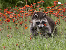 Baby Raccoon Playing in Orange Wildflowers Royalty Free Stock Photography