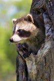 Baby raccoon portrait Stock Image