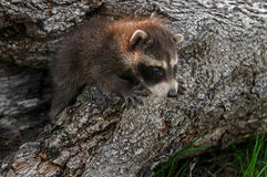 Baby Raccoon (Procyon lotor) Clambers Out of Log Royalty Free Stock Photography
