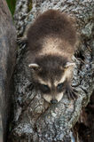 Baby Raccoon (Procyon lotor) Climbs Down Log Royalty Free Stock Image