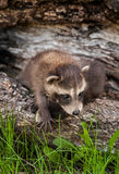 Baby Raccoon (Procyon lotor) Climbs Over Sibling Stock Image