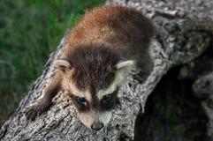 Baby Raccoon (Procyon lotor) Crawls Along Log Royalty Free Stock Photos