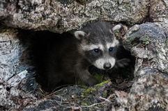 Baby Raccoon (Procyon lotor) Crawls out of Downed Tree Royalty Free Stock Photography