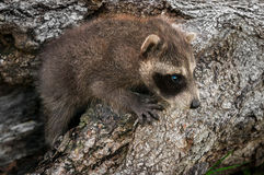 Baby Raccoon (Procyon lotor) Crawls up Log Royalty Free Stock Photography