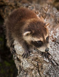 Baby Raccoon (Procyon lotor) Hangs On Royalty Free Stock Images