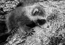 Baby Raccoon (Procyon lotor) Hangs On Royalty Free Stock Photos