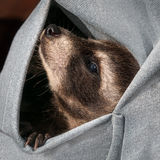 Baby Raccoon (Procyon lotor) Hangs out in Sweatshirt Pocket Royalty Free Stock Image