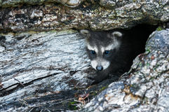 Baby Raccoon (Procyon lotor) Hides in Log Royalty Free Stock Photo
