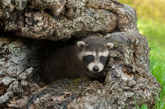 Baby Raccoon (Procyon lotor) Looks out of Log Royalty Free Stock Photography