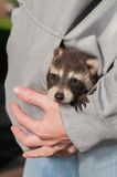 Baby Raccoon (Procyon lotor) Looks Out from Sweats. Hirt Pocket - captive animal Royalty Free Stock Photo