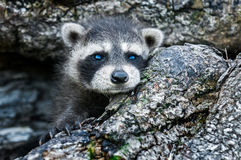 Baby Raccoon (Procyon lotor) Peeks out of Log Royalty Free Stock Image