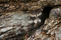 Baby Raccoon (Procyon lotor) Peeps out of Log Royalty Free Stock Photos