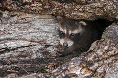 Baby Raccoon (Procyon lotor) Peers Out from Inside Log Royalty Free Stock Images