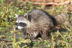 Baby Raccoon in a Stream Stock Photos