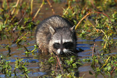 Baby Raccoon in a Stream Stock Photography
