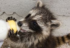 A baby raccoon sucking milk from a baby bottle. Side view of a baby raccoon holding onto a baby bottle with both front paws and drinking. The raccoon is stock photo