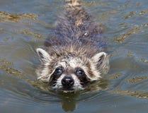 A baby raccoon swimming towards the camera. Close up of an adorable wet baby raccoon swimming towards the camera stock photo