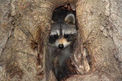 Baby Raccoon In A Tree Royalty Free Stock Photography