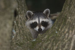 Baby raccoon in a tree Royalty Free Stock Image