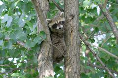 Baby Raccoon Between Tree Trunks Royalty Free Stock Image