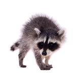 Baby raccoon on white background Stock Photo