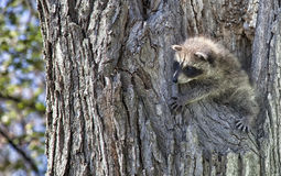 Baby raccoon Stock Images