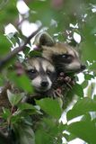 Baby Raccoons. A pair of baby raccoons huddled and resting in an ornamental tree in Prior Lake, MN, a suburb of the Twin Cities Royalty Free Stock Photography
