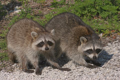 Baby Raccoons Stock Photos