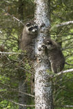 Baby raccoons. In a Montana tree royalty free stock photo