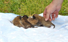 Baby Raccoons on blanket Stock Photography