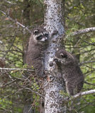 Baby raccoons climbing tree Royalty Free Stock Photos