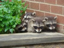 Baby Raccoons in the Garden Stock Image