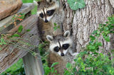 Baby Raccoons Hiding from Danger Stock Photo